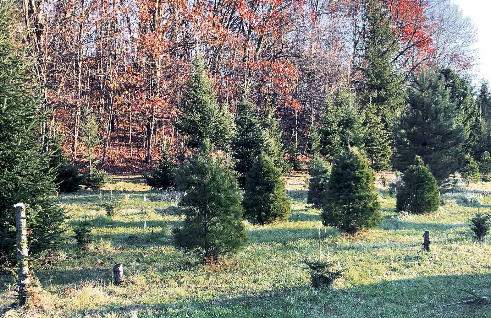 These are some of the trees available for purchase at the Volga Valley Conservation Club grounds. People can cut their own tree or choose from fresh cut trees for their Christmas holiday.Volga Valley Conservation Club keeping Christmas tree tradition aliveBy Jack...